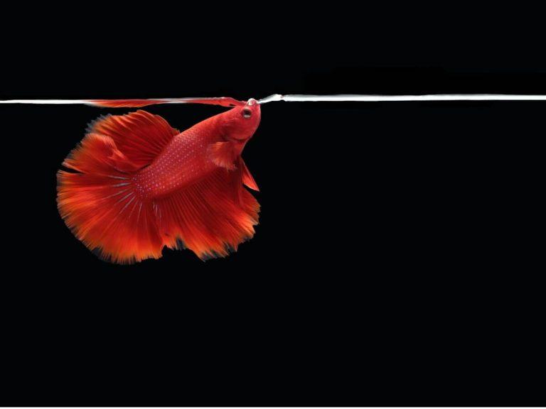 Mon poisson halète beaucoup et très vite : pourquoi ?