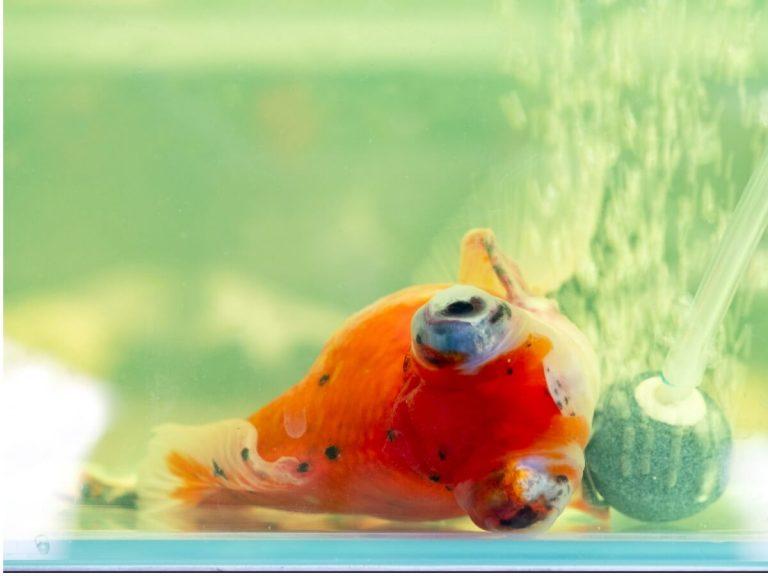 Pourquoi mon poisson nage-t-il latéralement ?