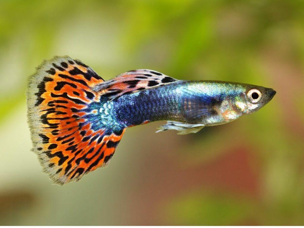 10 curiosités du poisson guppy