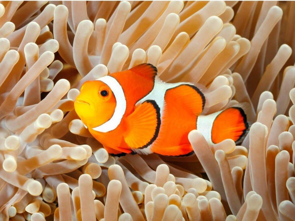 Comportement du poisson-clown