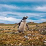 Manchot de Magellan : habitat et caractéristiques