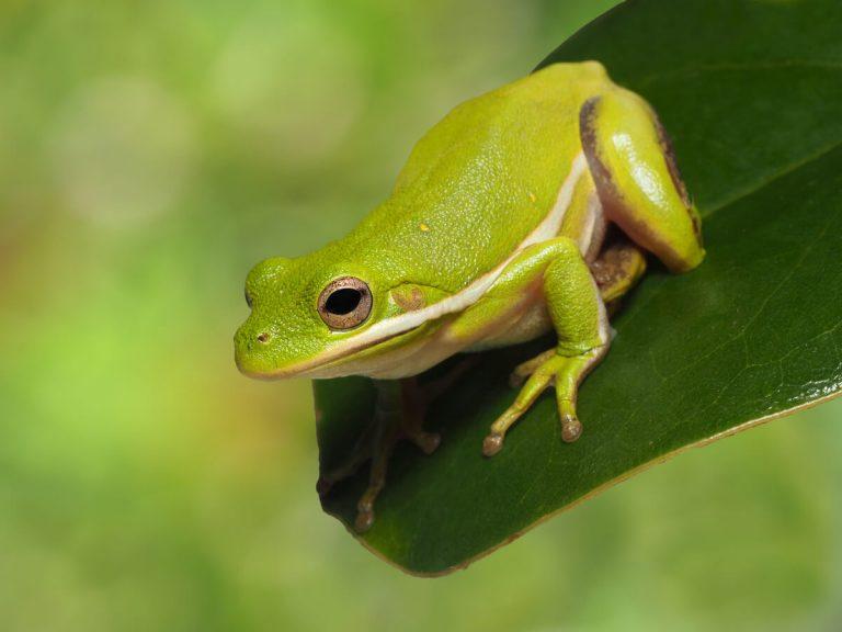 10 curiosités de grenouilles