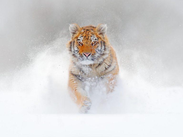 Différences entre le tigre du Bengale et le tigre de Sibérie