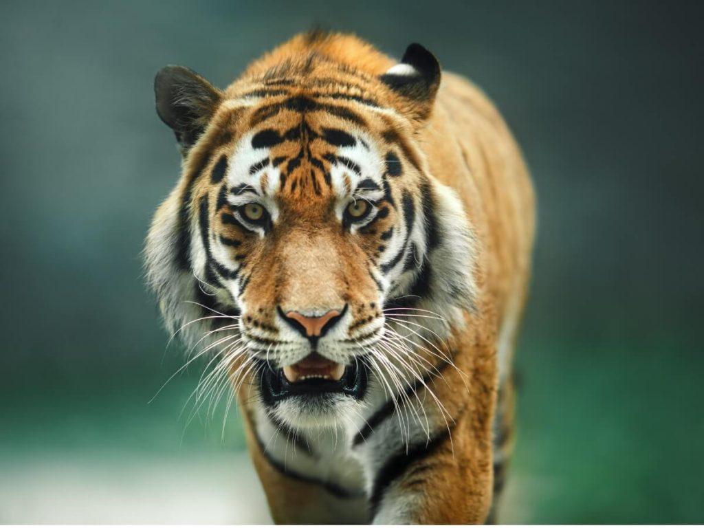 Comportement du tigre
