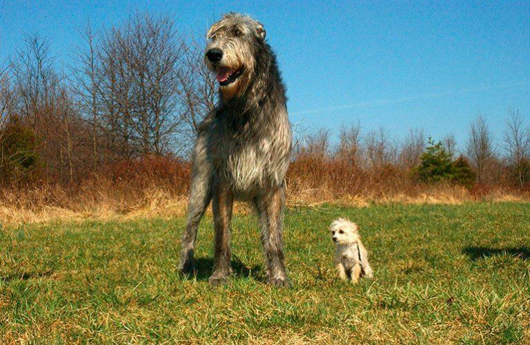 Quelles sont les plus grandes races de chiens au monde ? Guider