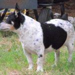 Teddy roosevelt terrier : tout sur cette race