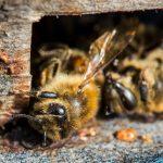 La production de lait d'amande tue des milliards d'abeilles