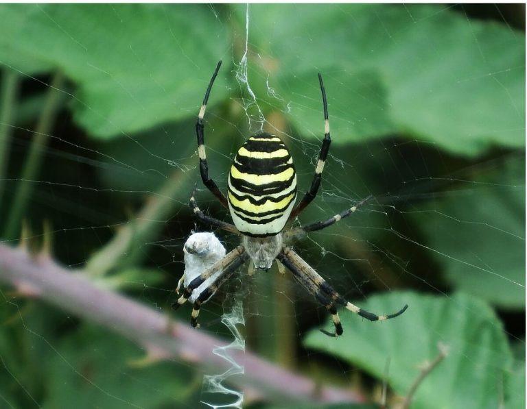 Araignée tigre: habitat et caractéristiques