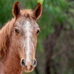 Cheval Brumby : habitat et caractéristiques
