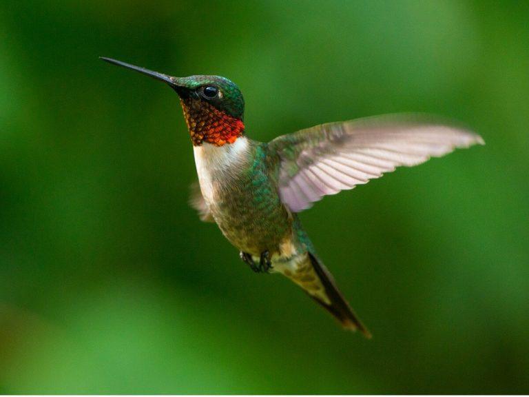 10 curiosités de colibris