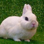 Lapin blanc de Hotot: caractéristiques et soins