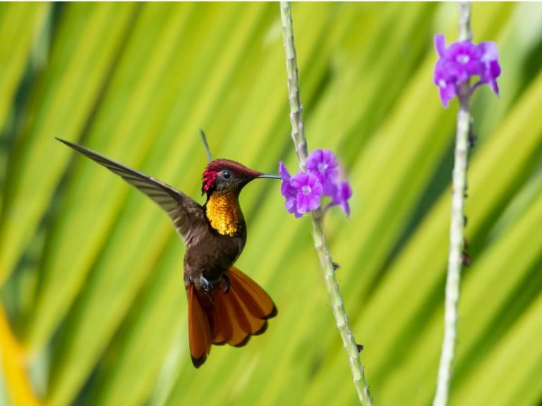 Espèces de colibris