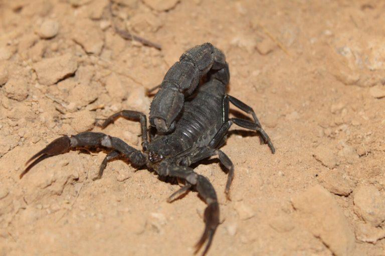 10 curiosités de scorpions qui vous surprendront