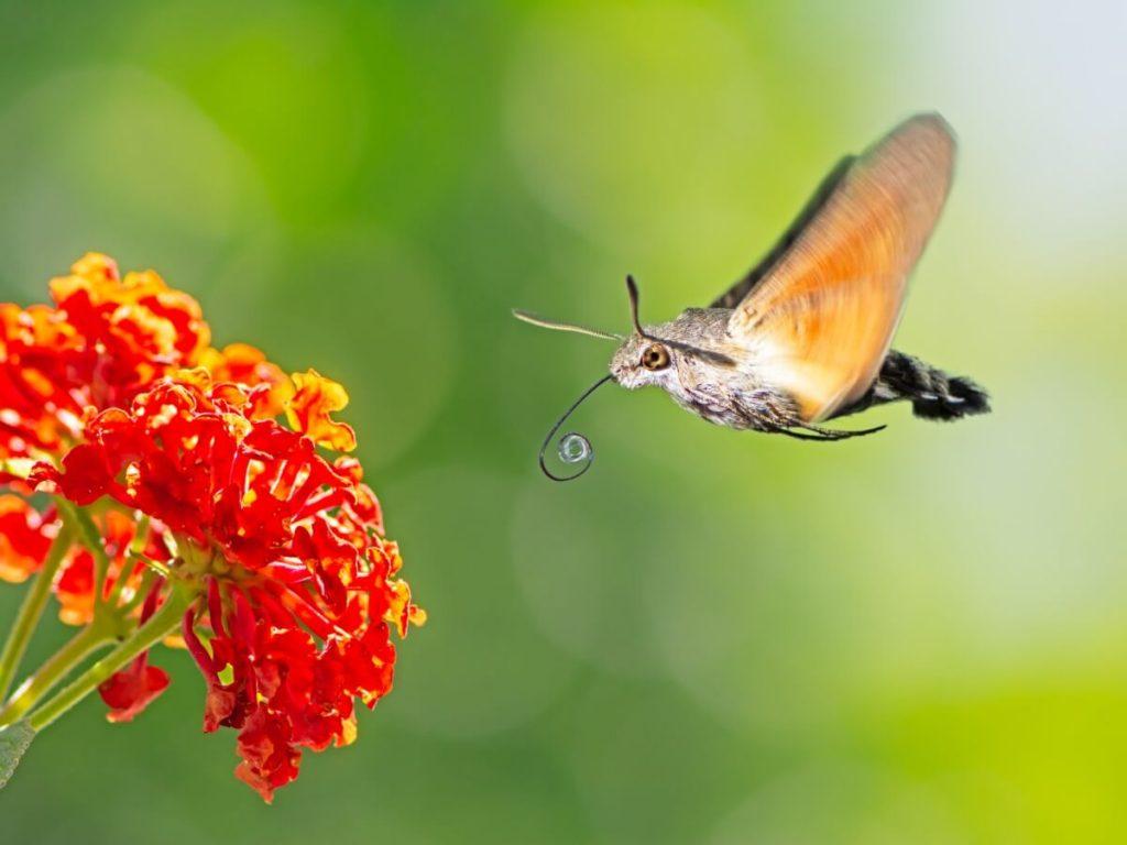 Sphinx colibri: habitat et caractéristiques
