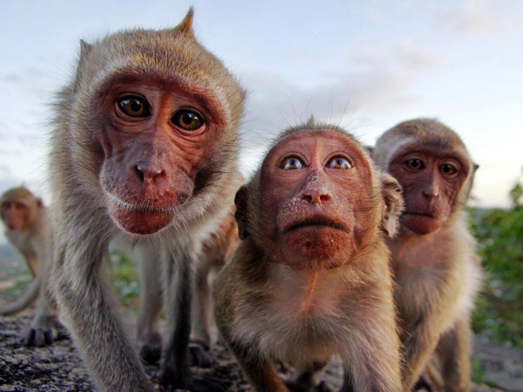 Comportement des primates