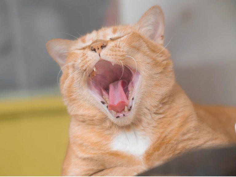 La mauvaise haleine chez le chat : causes et traitement