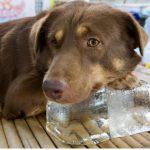 La glace est-elle bonne pour les chiens ?