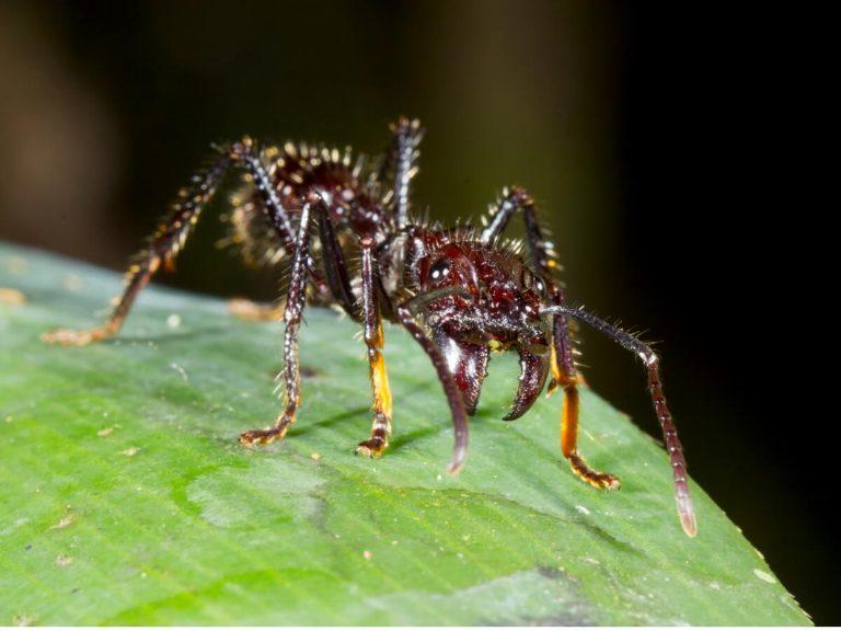 10 curiosités de la fourmi balle