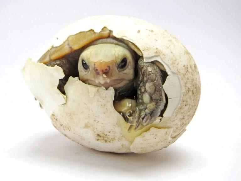 Comment faire éclore des œufs de tortue ?