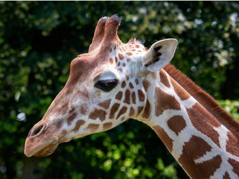 Girafe de Somalie: habitat et caractéristiques