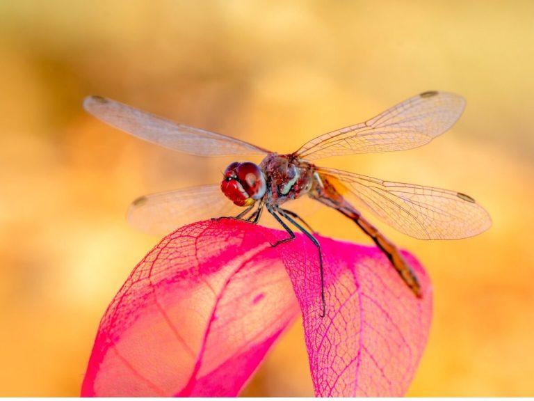 Les libellules, une autre victime du réchauffement climatique