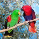 Perroquet éclectique : habitat et caractéristiques