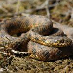 Serpent vipère: habitat et caractéristiques