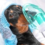 Pneumothorax chez le chien : caractéristiques et traitement