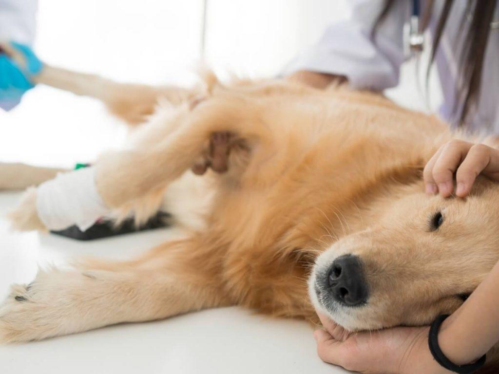 Prendre soin d'un chien stérilisé