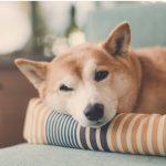 Pourquoi les chiens se retournent-ils avant d'aller se coucher ?