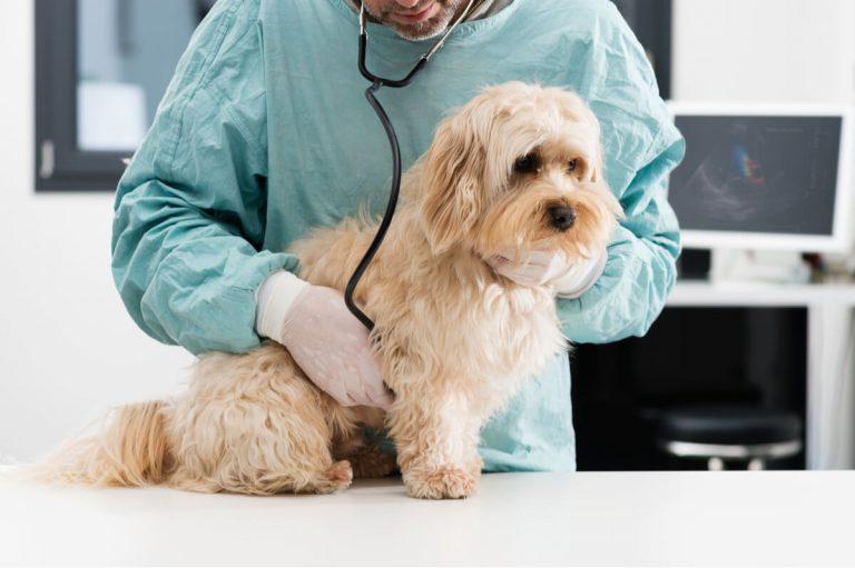 La mastocytose, le cancer le plus fréquent chez le chien