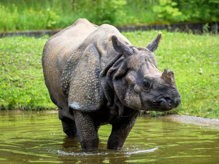 Rhinocéros indien : habitat et caractéristiques