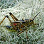 10 curiosités de sauterelles
