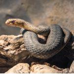 Couleuvre bâtarde : habitat et caractéristiques