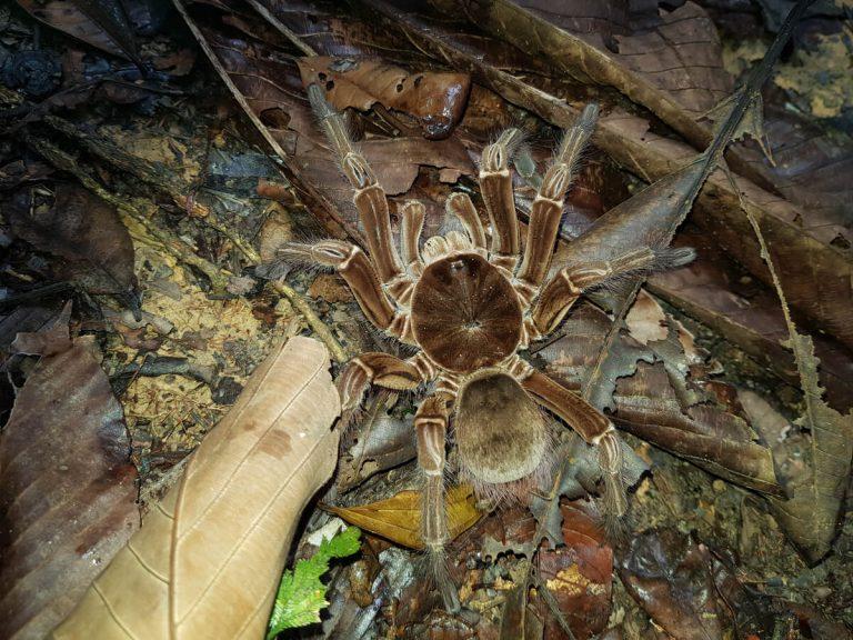 Araignée Goliath: habitat et caractéristiques