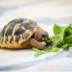 Ils mangent des tortues ?